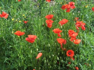 Poppies in May