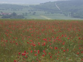 Poppy Field near Tranchees des Soif
